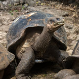 Giant Tortoise - Galapagos Islands Stock Images