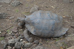 Giant tortoise in the Galapagos Islands stock photos
