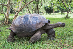 Giant tortoise of the Galapagos. On the tortoise park reserve on Santa Cruz island in the Galapagos Stock Photography