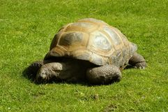 Giant Tortoise. In a garden Stock Photo