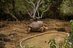Giant tortoise, Geochelone elephantopus, at Stock Images