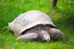 Giant tortoise , geochelone gigantea Royalty Free Stock Photos