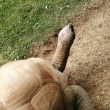 Giant tortoise royalty free stock images