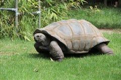 Giant Tortoise Grazing Royalty Free Stock Photo