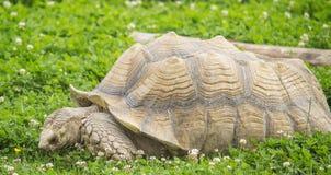 Giant tortoise Royalty Free Stock Photos