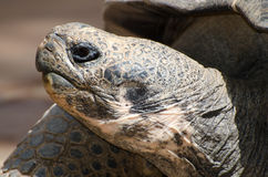 Giant Tortoise head close up Stock Photos