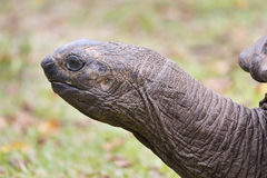Giant Tortoise Head, La Digue, Seychelles Royalty Free Stock Photos