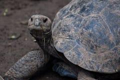 Giant tortoise at Isabela Island Stock Image