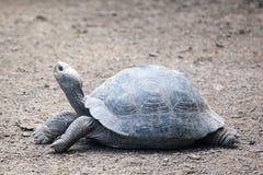 Giant tortoise at Isabela Island Stock Photography