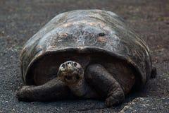 Giant tortoise at Isabela Island Royalty Free Stock Photography