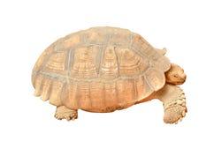 Giant Tortoise isolated (Geochelone gigantea) Stock Photography