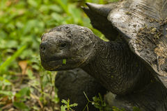 A Giant Tortoise with a leave in its mouth Royalty Free Stock Photo