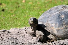 Giant tortoise looking at camera Royalty Free Stock Photos
