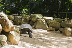 Giant Tortoise, Mahe, Seychelles Stock Photo
