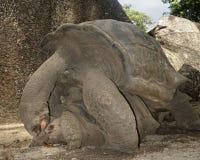 Giant tortoise mating. Aldabra Giant Tortoises (Aldabrachelys gigantea) mating,  La Digue island, Seychelles, Africa Royalty Free Stock Photography