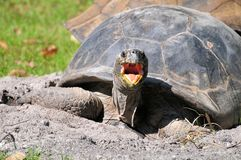 Giant tortoise mouth open Royalty Free Stock Photos