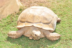 Giant tortoise. Nice tortoise in nature royalty free stock photo