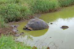 Giant tortoise in a pond, Santa Cruz Island, Galapagos. Giant tortoise in a pond in natural habitat on Santa Cruz Island, Galapagos Stock Photography