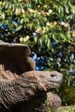 Giant Tortoise Profile. A giant galapagos tortoise eating Stock Images