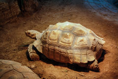 The giant tortoise. Giant tortoise, tortoise, reptiles, zoo, viewing, longevity turtle Stock Photos