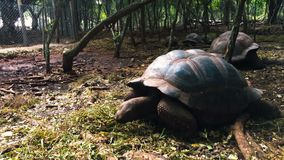 Giant tortoise in the reserve in Tanzania on the island of Zanzibar. stock footage