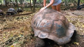 Giant tortoise in the reserve in Tanzania on the island of Zanzibar. stock video footage