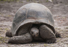 Giant Tortoise at Rest Royalty Free Stock Photo
