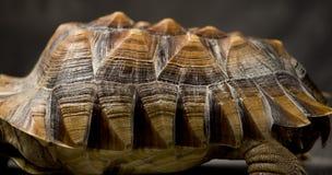 Giant tortoise resting Stock Images