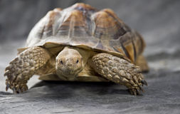 Giant tortoise resting Royalty Free Stock Images