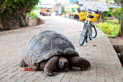 Giant tortoise on a road Stock Photos
