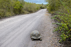 Giant tortoise on the road, Isabela island, Ecuador Stock Photos