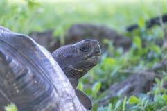 Giant Tortoise of Santa Cruz in Galapagos Islands Ecuador  13 Stock Images