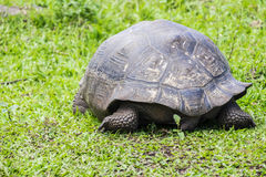 Giant Tortoise of Santa Cruz in Galapagos Islands Ecuador  9 Stock Photography