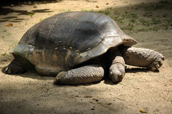 Giant tortoise in Singapore zoo. Close up of Giant tortoise in Singapore zoo Royalty Free Stock Image