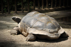 Giant tortoise in Singapore zoo Stock Photos