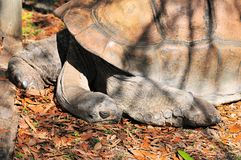 Giant tortoise sleeping Royalty Free Stock Image