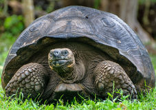 Giant Tortoise Stock Photos