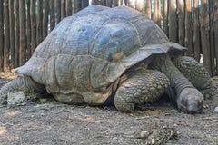 Tortoise. Giant tortoise turtle in Zanzibar Stock Images