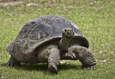 Giant Tortoise Up Close Stock Image
