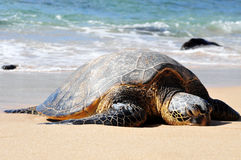 Giant tortoise on waimea beach Royalty Free Stock Photo