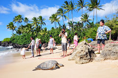 Giant tortoise on waimea beach Royalty Free Stock Photography