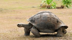Giant tortoise walking Stock Image