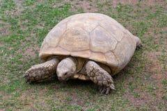 Giant tortoise walking royalty free stock photo