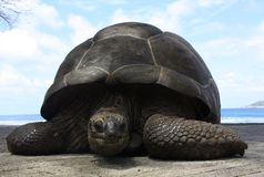 Giant tortoise on La Digue Island, Seychelles Royalty Free Stock Photography