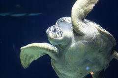 Giant tortoise in water Royalty Free Stock Photography