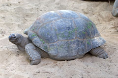 Giant tortoise. Young giant tortoise. It is a reptile found of two group of tropical island: Aldabra Atoll in Seychelles and Galpagos Island in Ecuador Stock Image