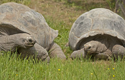 Giant tortoise Royalty Free Stock Photos