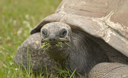 Giant tortoise Royalty Free Stock Photography