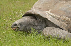 Giant tortoise. It is giant tortoise in zoo Stock Images