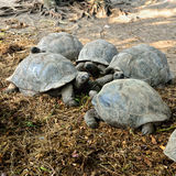 Giant tortoises Stock Photography